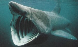 A Basking Shark Takes in Shrimp and Plankton