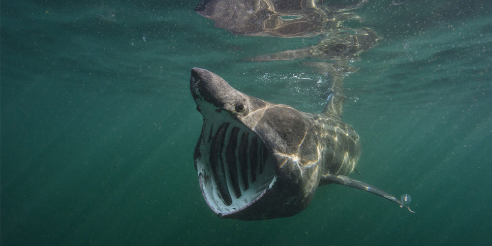 basking shark with mouth wide open