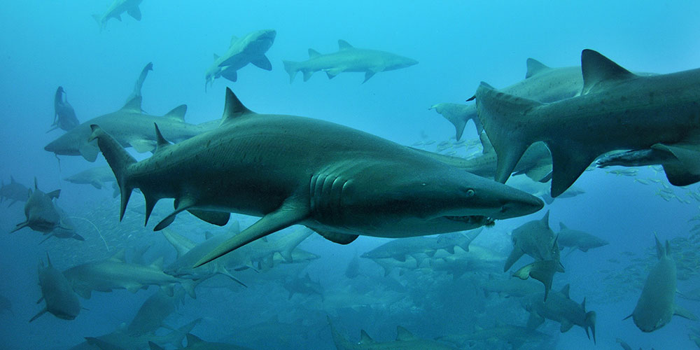 gray nurse shark