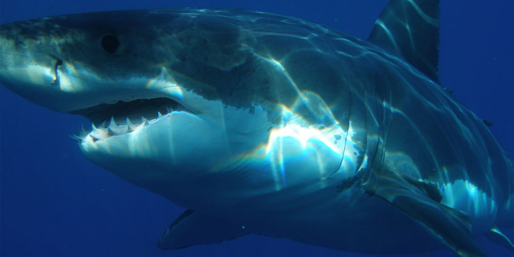 great white shark with sharp teeth