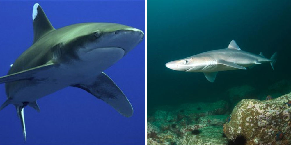 Oceanic Whitetip and the Spiny Dogfish Shark.
