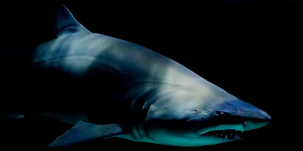 scary shark underwater
